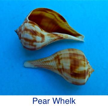 Whelk - Pear ID