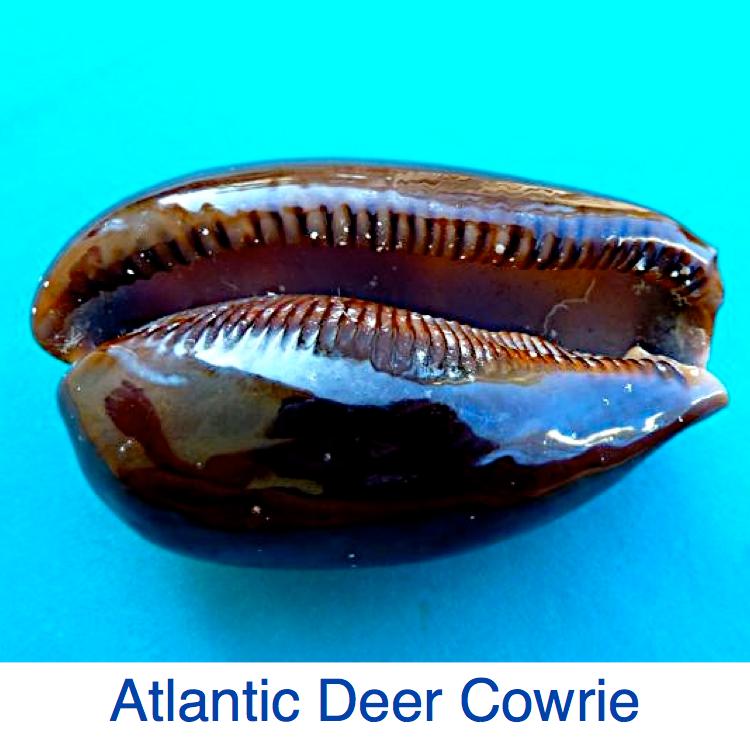 Atlantic Deer Cowrie ID