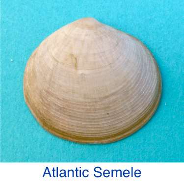 Atlantic Semele shell id