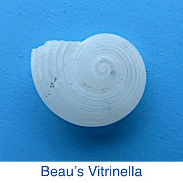 Beau's Vitrinella Seashell id