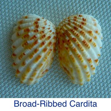 Broad-Ribbed Cardita Seashell ID