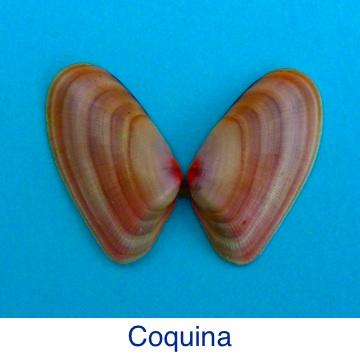 Coquina Shell ID
