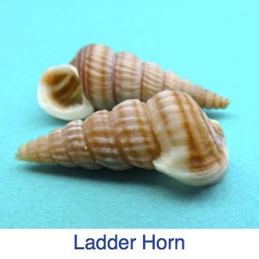 Ladder Horn Snail Identify shell