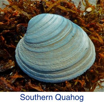 Quahog - Southern ID