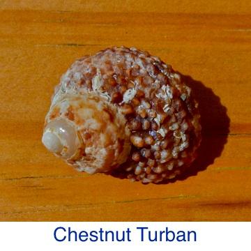 Turban - Chestnut ID