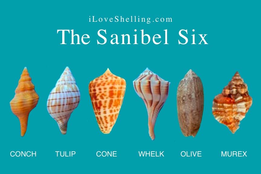 The Sanibel Six Seashells | I Love Shelling