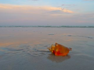 fighting conch sunset