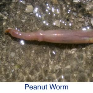 Peanut Worm ID