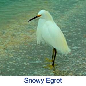 Snow Egret ID