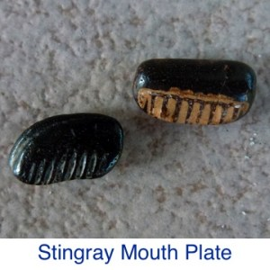 Stingray Mouth Plate ID