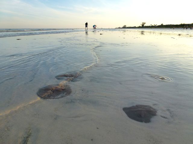 low tide sanibel sand dollars