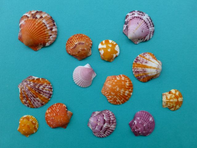 Calico Scallop Color Name Game