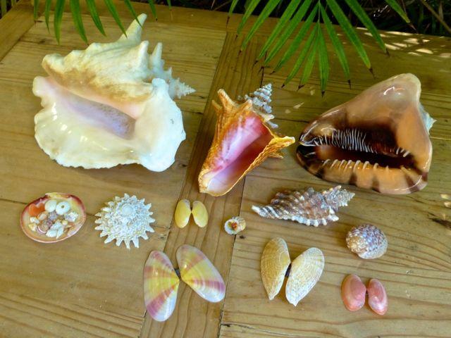 Caicos best seashells rambo