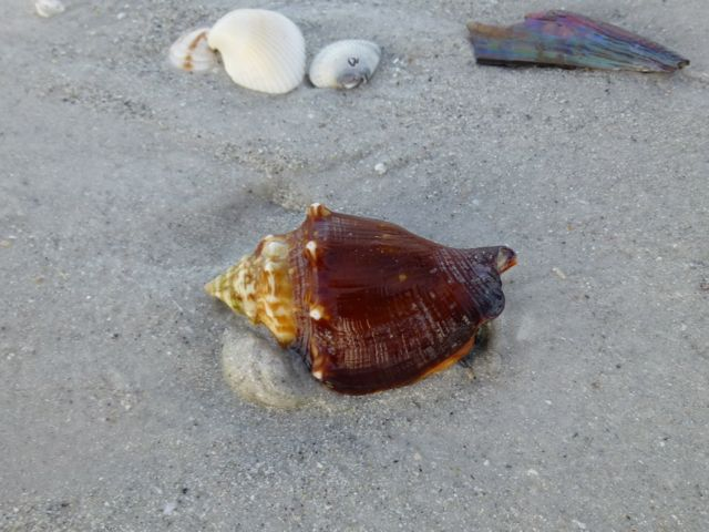 fighting conch sand