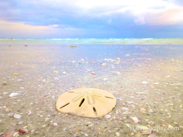 sand dollar on a Sanibel beach