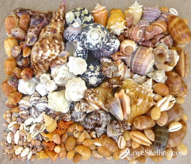 Seashells Collected From Guantanamo Bay Cuba I Love Shelling