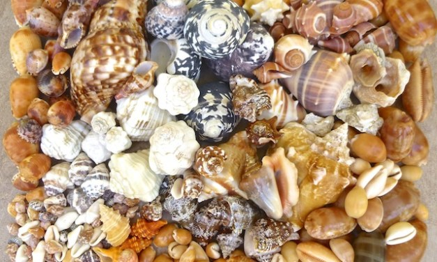 Seashells Collected From Guantanamo Bay Cuba