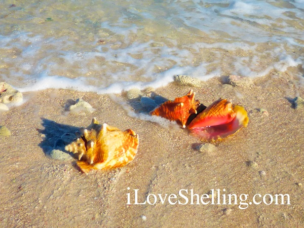 conch shells wash up on bahamas beach