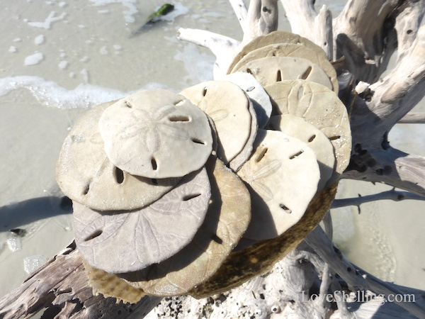 find sand dollars on fort myers beach florida