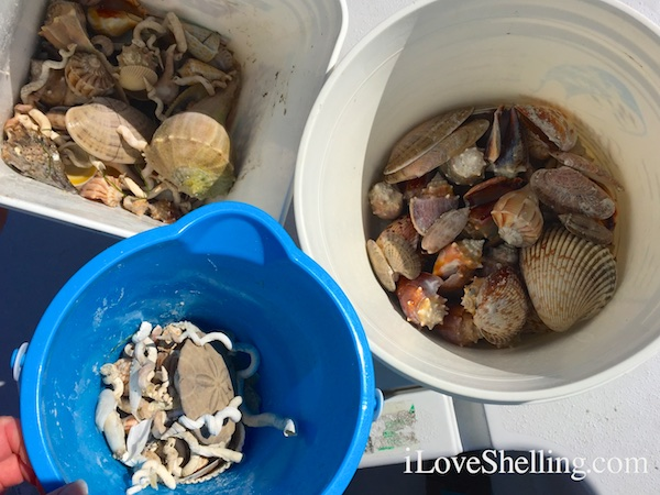 Buckets of shells from Clearwater Beach Florida