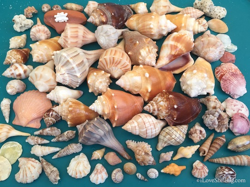 As The Sanibel Shells Turn