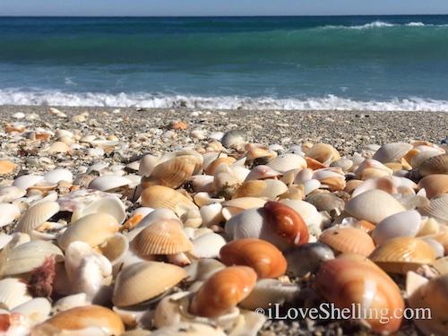 seashells on Jupiter Beach Florida