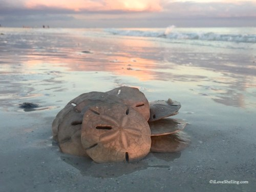 Sanibel Sand Dollars Days
