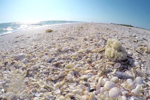 Sanibel seashells Bowmans Beach