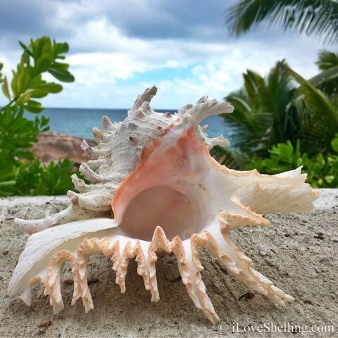branched murex seychelle islands