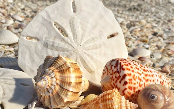 Sanibel Shelling and Shell Love Bug