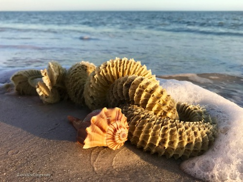 lightning whelk egg case on Sanibel Florida-1