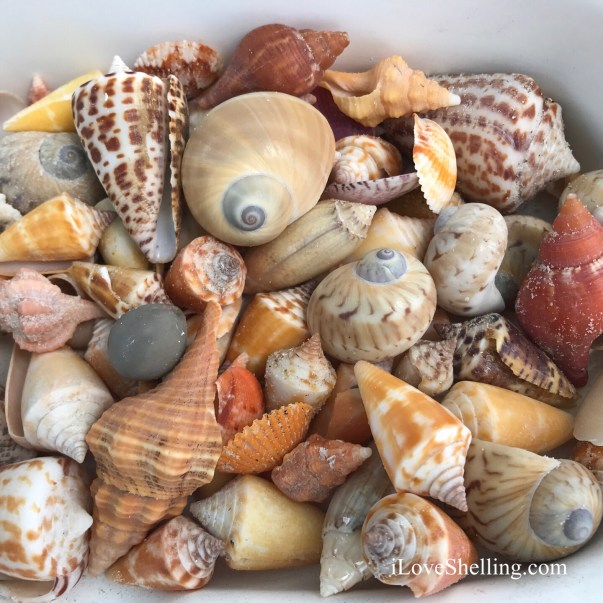seashells of Marco Florida Kice Island