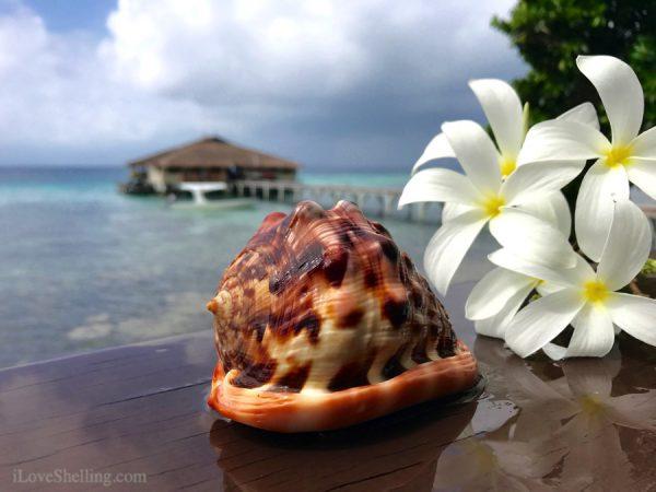 Solomon Islands cameo helmet