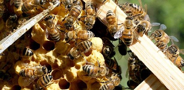 Le api di Monte Funicolo (seconda parte)