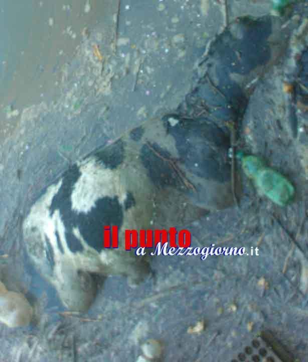 vitello nel fiume