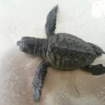tartaruga-nata-a-Roseto-degli-Abruzzi-15-09-2013