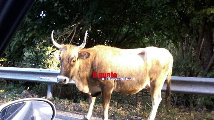 Si schianta contro una mucca sulla Carpinetana, grave centauro 43enne