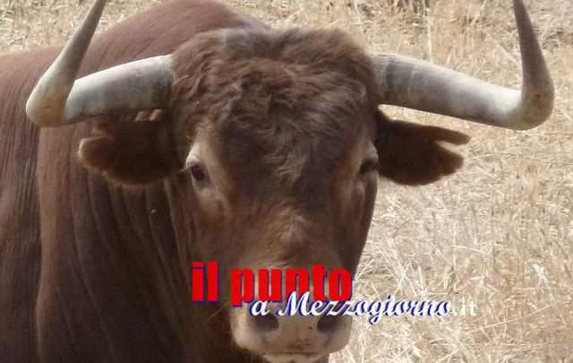 Caricato ed incornato da un toro, 70enne di Colfelice in gravi condizioni