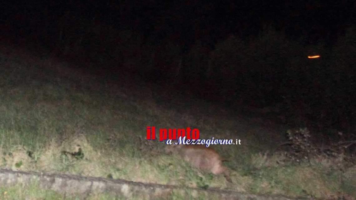 Cinghiali in libera uscita su via Leuciana a Pontecorvo