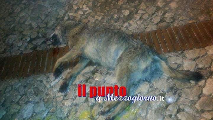 Un lupo in pieno centro a Veroli, investito ed ucciso da un'auto