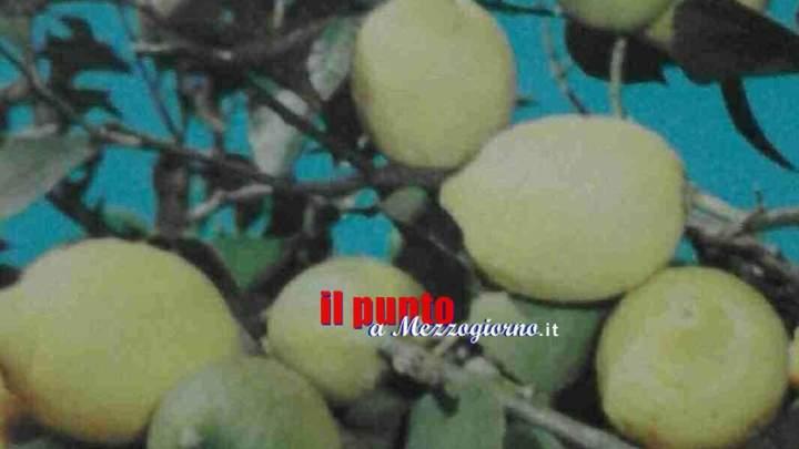 Beccati a rubare limoni dal proprietario.  Tre uomini arrestati a Capua