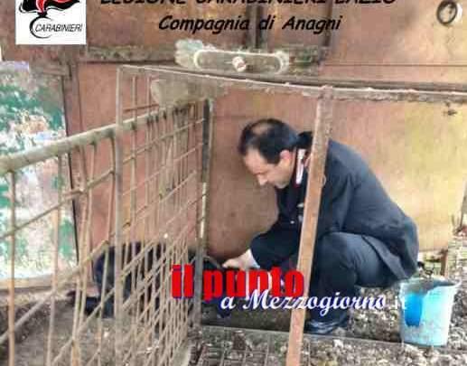 Cani legati e affamati ad Anagni, proprietario denunciato per maltrattamenti