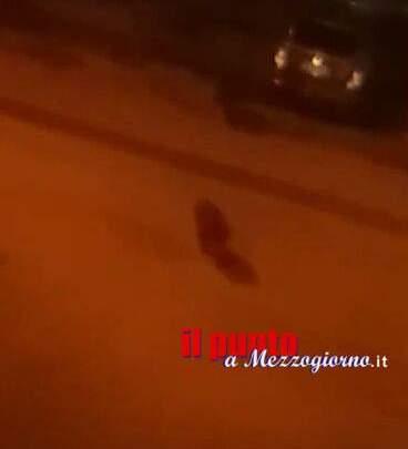 Cinghiali a spasso per il centro di Cassino, residenti allarmati
