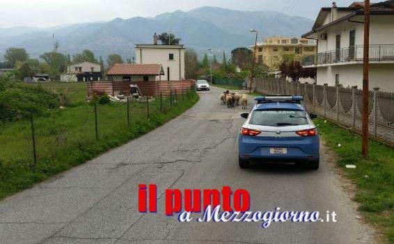 """Cassino, la """"pantera"""" (della polizia) che salva un gregge di pecore"""