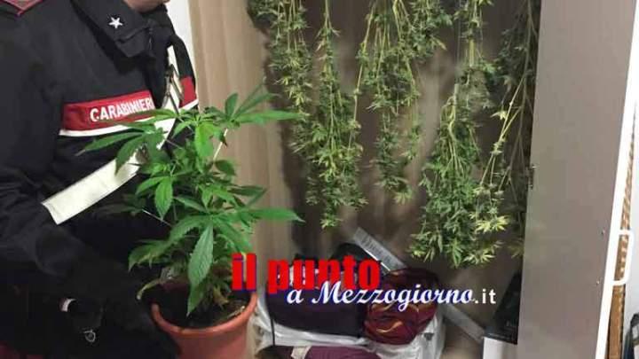 Albano Laziale – Coltivava marijuana in casa, 64enne arrestata