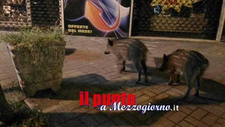 """Cinghiali a Cassino, iniziata la messa in sicurezza. Polizia Provinciale con """"licenza di uccidere"""""""
