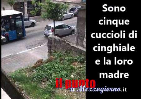 VIDEO – Cinghiali come alla fermata dell'autobus, cuccioli e scrofa in via San Germano