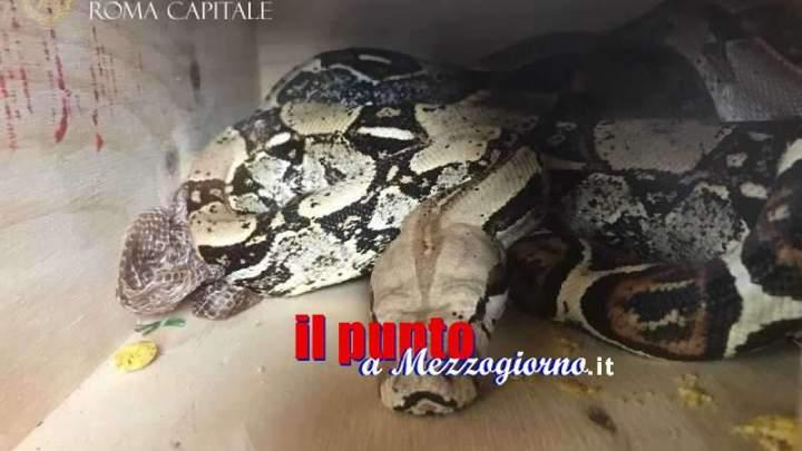 Serpente abbandonato, boa di due metri ritrovato in un condominio