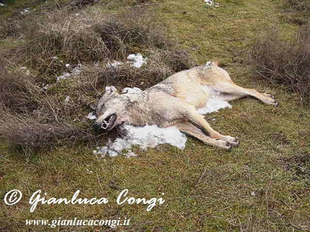 Un Lupo avvelenato nel Parco Nazionale della Sila - Foto Gianluca Congi ©