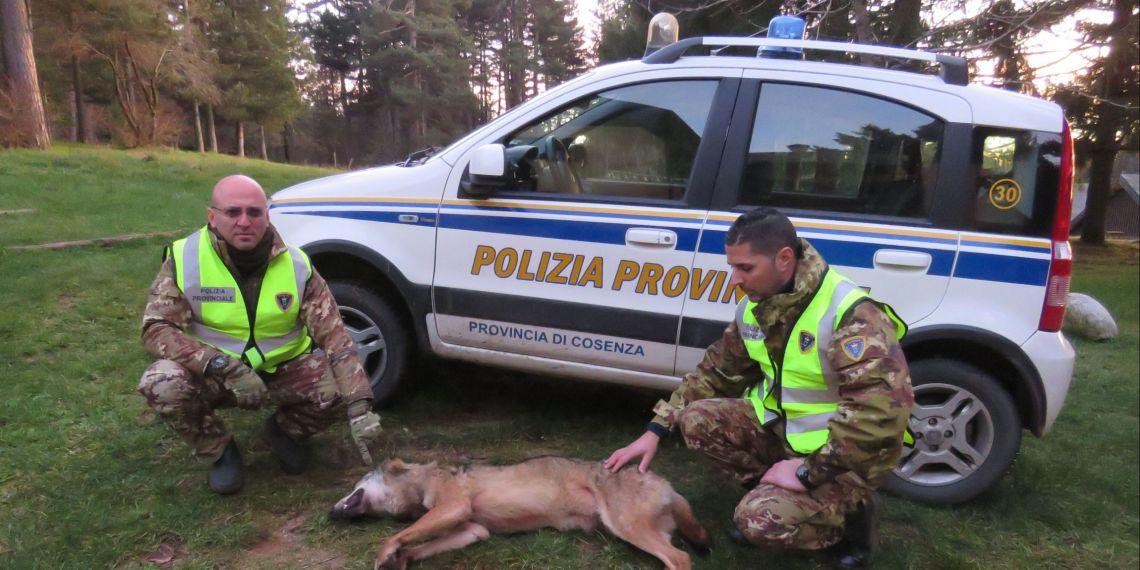 Ph Corpo Polizia P. - Lupo rinvenuto morto sulla Sila